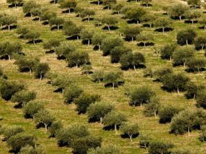 Olive groves Sicily