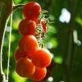 Cherry tomatoes from Pachino Sicily
