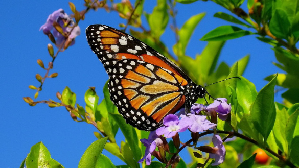 monarch-butterfly-on-purple-flowers